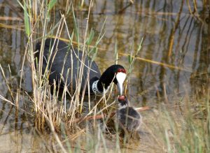 Red-knobbed-coot Fulica-cristata