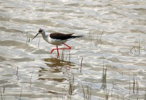 Black-winged-stilt Himantopus-himantopus