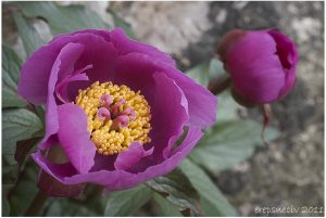 Paeonia cambessedessii Balearic peony endemic
