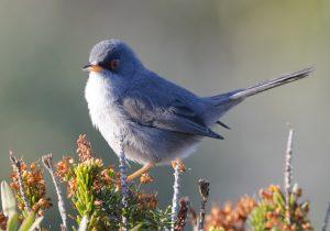 Balearic-warbler Sylvia-balearica