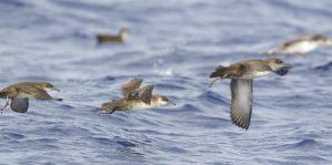 Balearic-shearwater Puffinus-mauretanicus