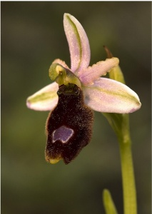 Balearic bee orchid Ophrys balearica endemic